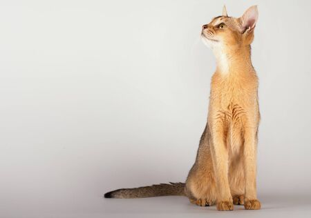 An abyssinian ruddy cat on a white background.