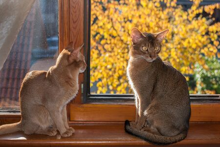 Two cats are sitting on the windowsill, abyssinian cat