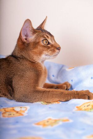 An abyssinian ruddy cat on a white background. Stock Photo