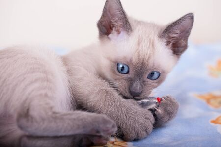 An siamese cat on a white background, kitty