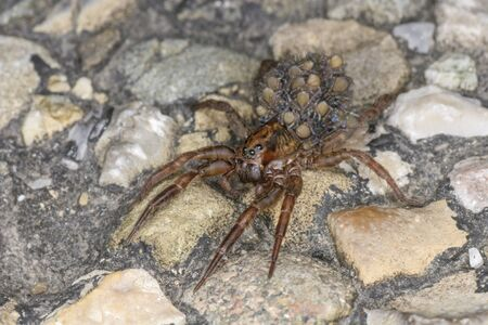 A wolf spider with many small spiders on its back. Little mother spider with the offspring on the asphalt. 스톡 콘텐츠