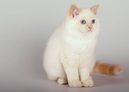 An red point birman cat on a white background, kitty