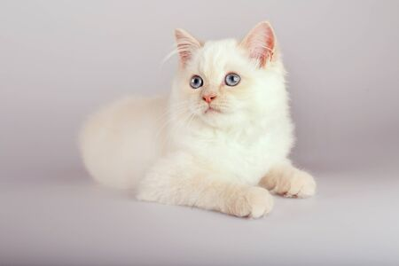 An red point  birman cat on a white background, kitty 版權商用圖片