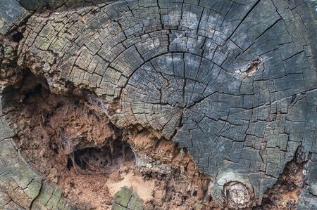Old, rotten, sawn tree trunks lie on the meadow. A tree has a rotten hole Stockfoto