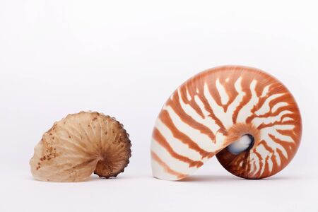 Seashell nautilus on the white background, isolated