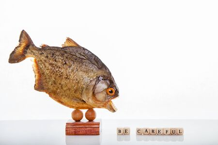 A piranha animal specimen, Isolated photo.