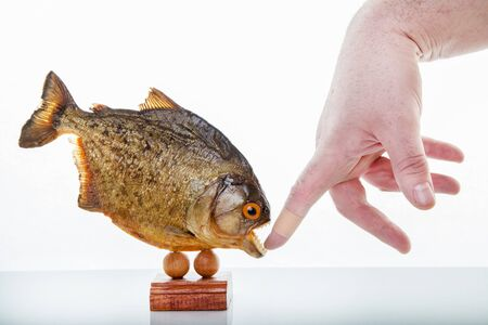 A piranha animal specimen with hand, Isolated photo. 版權商用圖片