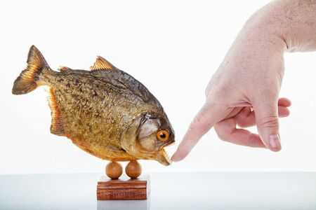 A piranha animal specimen with hand, Isolated photo. Banco de Imagens