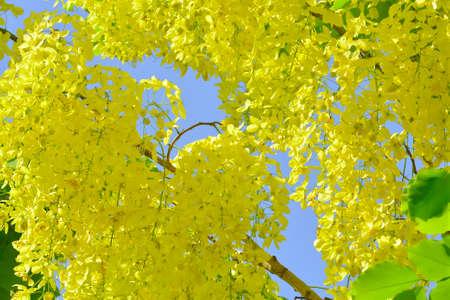 cassia: cassia fistula flower Stock Photo