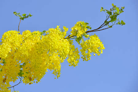 cassia: cassia fistula flower Stock Photo