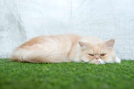 persian cat: persian cat sleeping on artificial turf