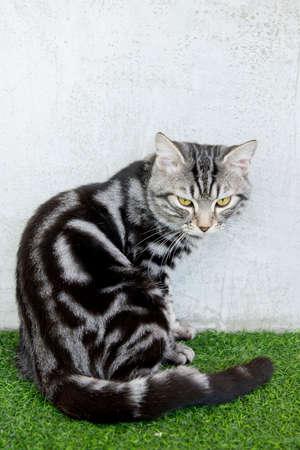 artificial hair: gato americano del pelo corto que se sienta en el c�sped artificial