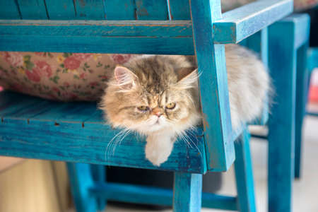 pampered: white persian cat sit on chair