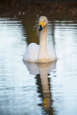 water fowl: Whooper Swan with reflection Stock Photo