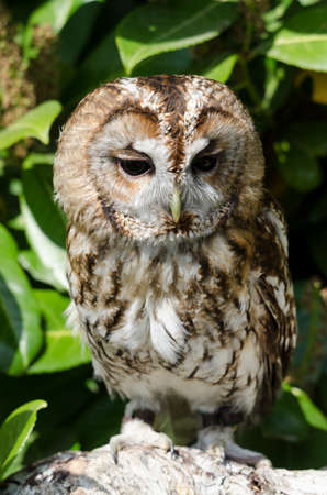 tawny owl: Beautiful Tawny Owl perched on branch Stock Photo