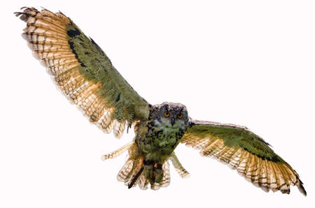 Eagle owl flying towards camera, looking directly at camera and on white