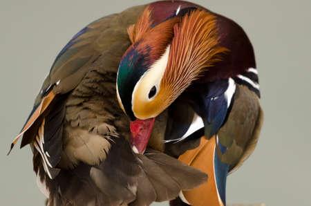 preening: Mandarin duck preening,  isolated