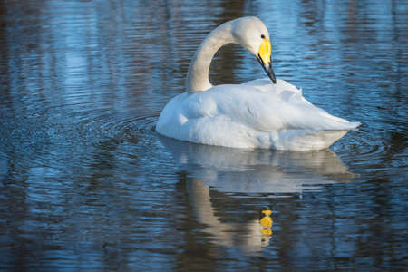 water fowl: Whooper Swan, preening with reflection