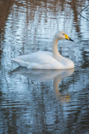 water fowl: whooper Swan with reflection