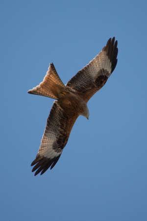 a large bird of prey: Red Kite in volo sopra Berkshire Regno Unito.