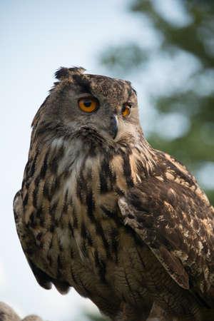 a large bird of prey: European Gufo reale, Bubo bubo, chiudere, su