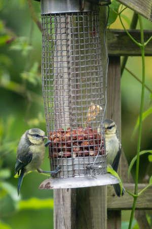 cyanistes: Blue Tit, (Cyanistes caeruleus) on bird feeder in UK garden