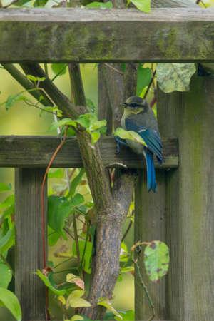 caeruleus: Tit azul, (Cyanistes caeruleus) en la alimentaci�n de aves en el jard�n Reino Unido Foto de archivo
