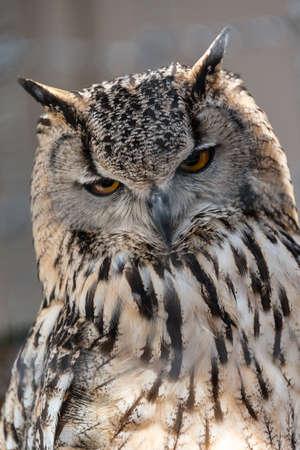 a large bird of prey: European Gufo reale vicino