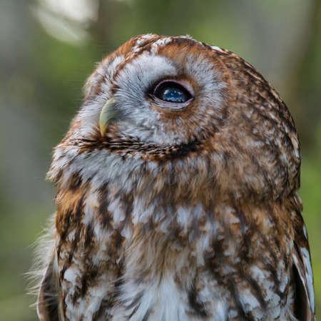 tawny: Tawny Owl, Strix aluco. Stock Photo