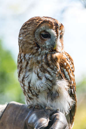 tawny owl: Tawny Owl, Strix aluco. Stock Photo