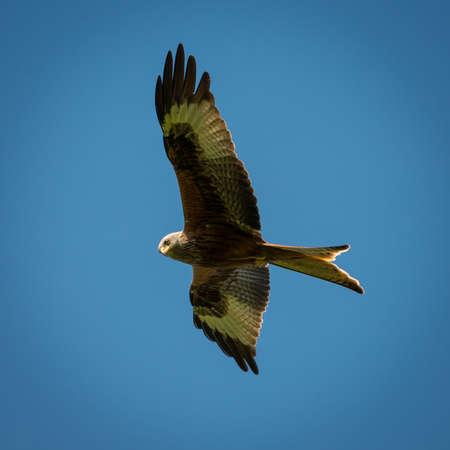 a large bird of prey: Nibbio reale, Milvus milvus in volo sopra l'Inghilterra meridionale