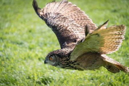 a large bird of prey: Gufo di aquila europeo, bubo bubo, da vicino. Archivio Fotografico