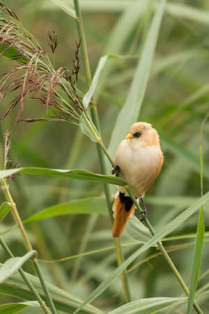 Female Bearded Tit, Panurus biarmicus. Stok Fotoğraf