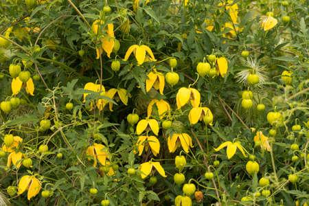 Clematis tangutica, in flower