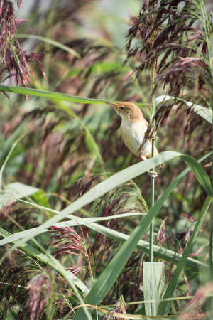 warbler: Reed Warbler, Acrocephalus scirpaceus. Perched on reed. Stock Photo