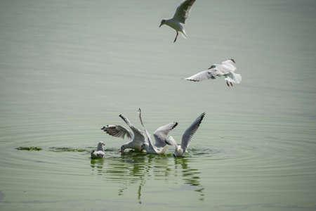 webfoot: Seagulls feasting on green lake at Ioninna, Greece. Stock Photo