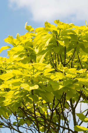 indian bean: Indian Bean Tree, Catalpa bignonioides Aurea Stock Photo