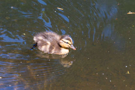 Cute duckling swimming alone photo
