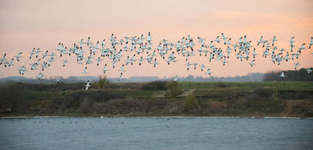 curved leg: Flock of wild Avocets (Recurvirostra avosetta) seen at dawn in Norfolk UK. Stock Photo