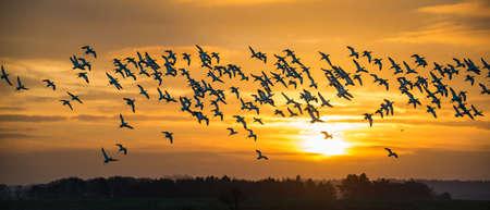 Flock of wild Avocets (Recurvirostra avosetta) seen at dawn in Norfolk UK. Stok Fotoğraf