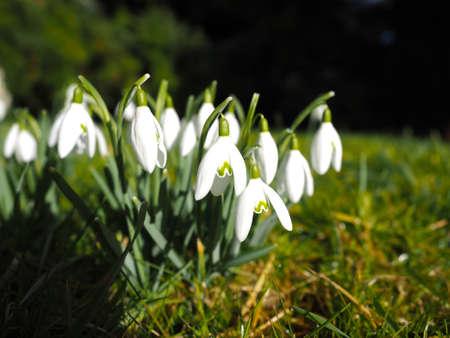 nivalis: Wild Snowdrop, Galanthus Nivalis. France.