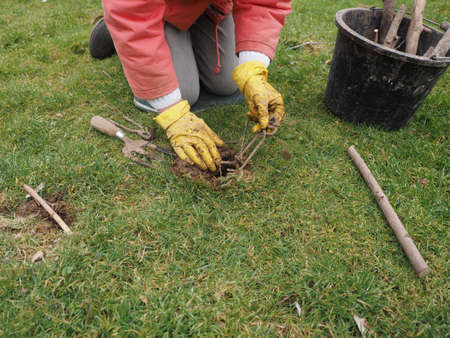 extermination: Setting a mole trap in a domestic garden