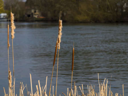 bullrush: Bullrushes at rivers edge, at evening Stock Photo