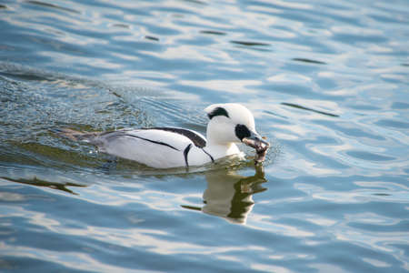 Smew, Mergellus albellus, catching a frog photo