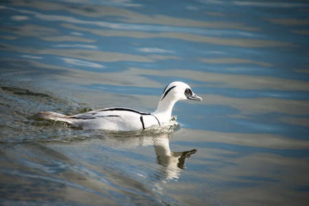 Smew, Mergellus albellus, swimming in lake. photo
