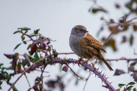 bramble: Hedge sparrow, Dunnock, perched on bramble during British winter. Stock Photo