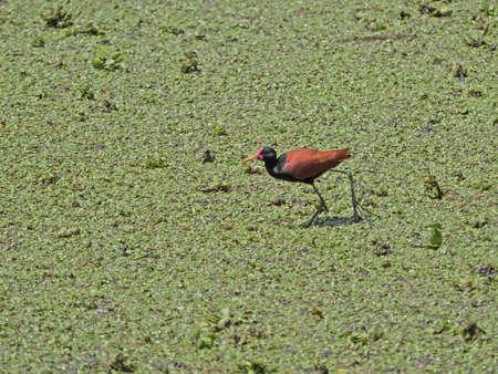 jacana: Wattled Jacana. Wading bird seen in Argentina Ibera Wetland