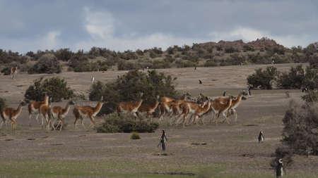 patagonian: Herd of wild Patagonian Lama,  Guanaco (Lama guanicoe). Seen at Punta Tombo, Argentina, with Magelanic Penguins. Stock Photo