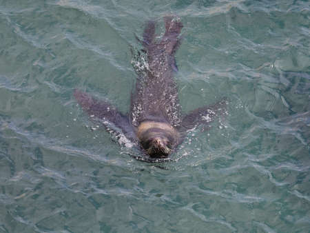 flavescens: South American Sea Lion � Otaria flavescens. Seen in Patagonia Argentina Stock Photo