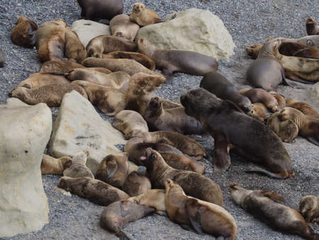 flavescens: Colony of South American Sea Lion � Otaria flavescens. Seen in Patagonia Argentina